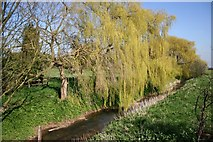 SK7967 : Weeping Willows by Richard Croft