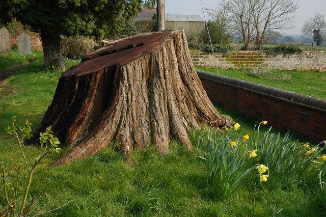 Tree stump, Rushock churchyard
