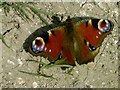 TL0927 : Peacock butterfly sunning itself by John Yaxley