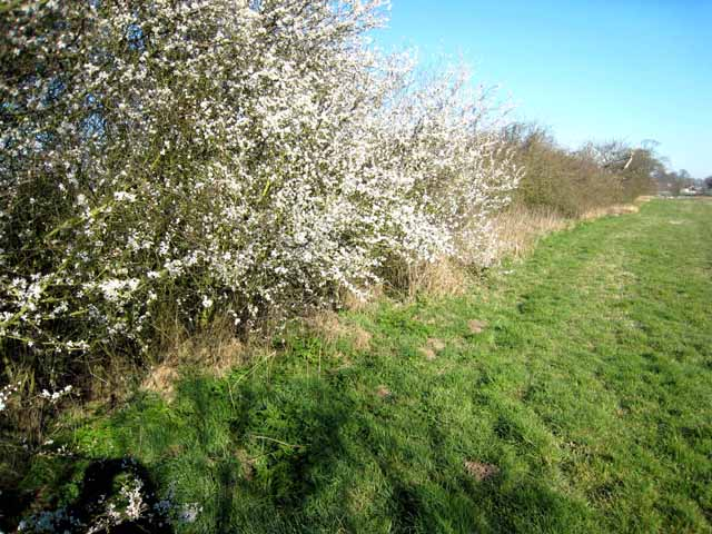 Blackthorn blossom, Mordon Moor Farm