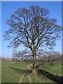 NY7701 : Tree by John Illingworth