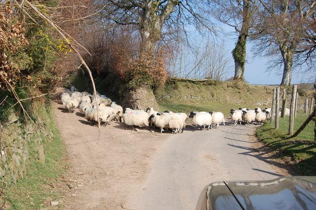 Sheep heading down a bridleway.