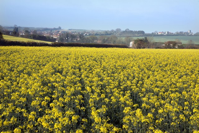 Sixpenny Handley & early spring Rape field