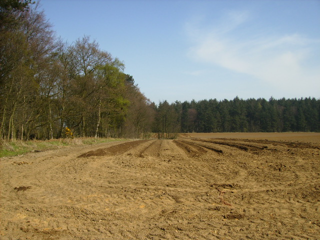 Potato field adjoining woodland at Sheepwalk Plantation