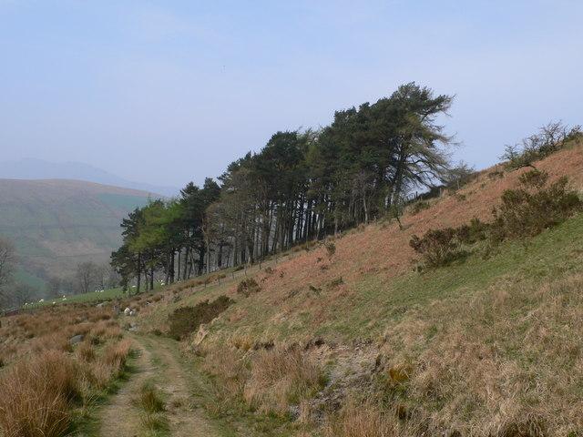 Pines on the hillside