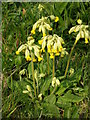 NZ4127 : Cowslips outside Newton Hanzards Plantation by Carol Rose