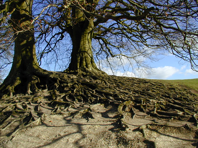 Roots on the bank at Avebury henge