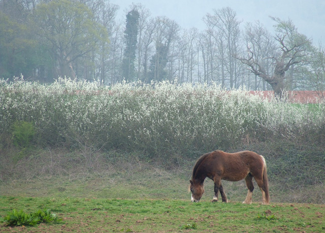 Horse with Blackthorn Blossom