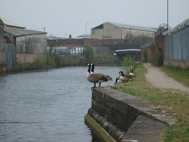 Canal Geese