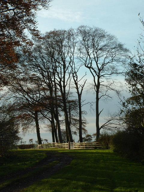 Beech trees at Pockthorpe