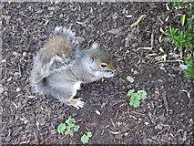 SE5952 : Grey Squirrel by Stanley Howe
