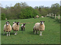 SO7785 : Sheep at Birdsgreen, Shropshire by Roger  Kidd