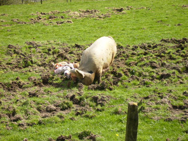 Family of pigs playing on small pig farm near Yetholm