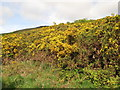 NT9131 : Gorse on the foothills of Lanton Hill by Lisa Jarvis