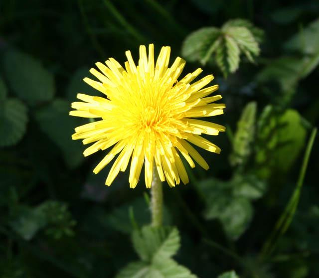 Dandelion, Taraxacum officinale