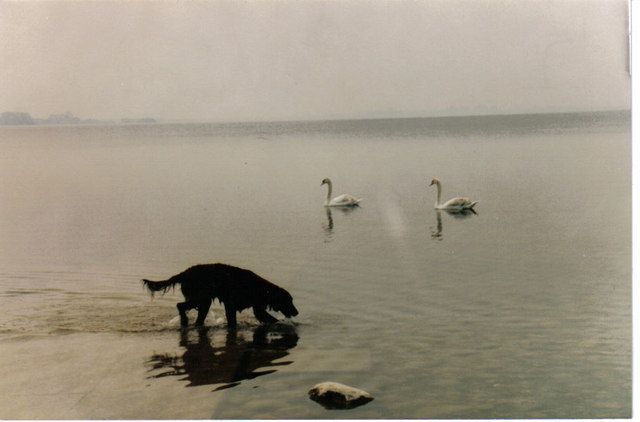 Dog and Swans
