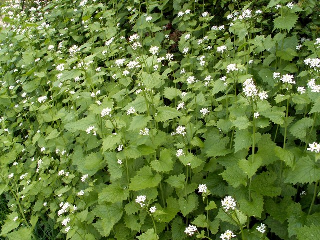 """Jack-by-the-hedge"" or Garlic Mustard"