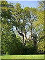 H1959 : Irish Oak, Oak Cottage by Kenneth  Allen