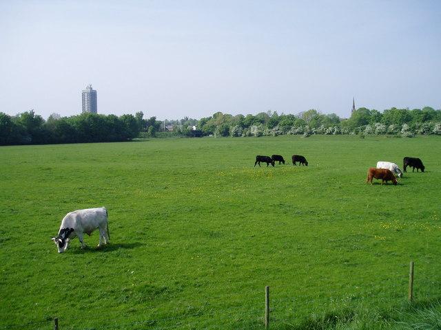 Cattle on Stretford Meadows