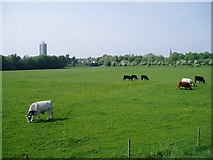 SJ7993 : Cattle on Stretford Meadows by R Greenhalgh
