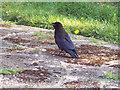 ST8638 : Crow by Maigheach-gheal