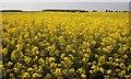 NU1731 : Field of Rape, Ewe Hill by Mick Garratt