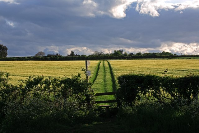 Public footpath across barley field, Sixpenny Handley.