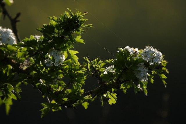 Hawthorn in bloom.