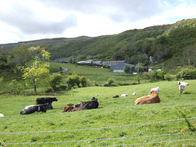 Beef cattle below Sugarloaf Hill