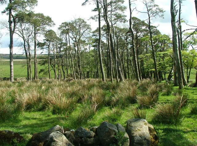 Scots Pines.