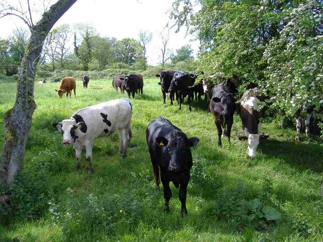 Bullocks, inside the moat