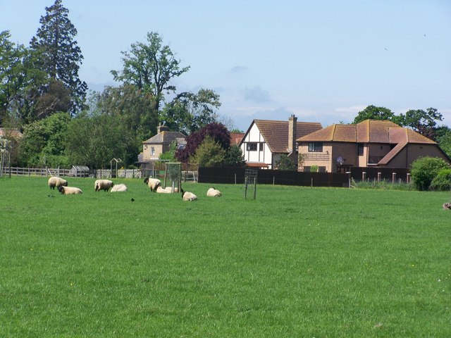 Sheep grazing at Conington