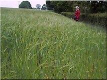 SU1012 : Early barley in ear near Daggons by Maigheach-gheal