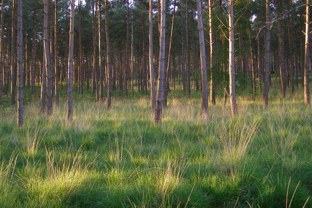 Pines in Foxbury Plantation