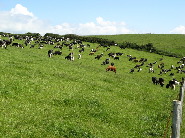 Large Herd of Cows near Mothecombe