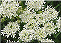 SO6723 : Cow parsley by Pauline E
