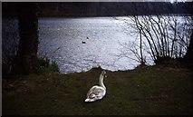 NS2209 : Swan Pond at Culzean Country Park by Trevor Rickard
