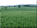 SO6798 : Wheat Field, near Willey, Shropshire by Roger  Kidd