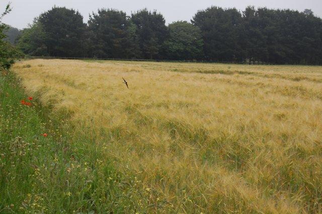 Field near Aldringham with swallow