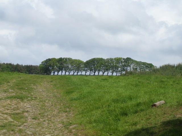 Trees near Harbottle