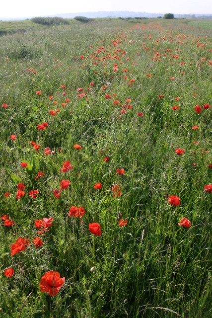 Poppies Beside Wainway Wall
