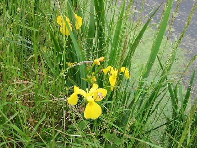 Yellow flag, Iris pseudacorus