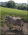 SX3176 : Cow near Trelabe by Derek Harper