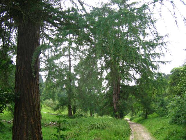 Larch trees, Juniper Bottom