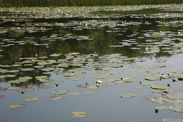 Water lilies on Stocking Pool, near Mamble