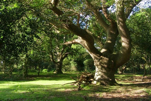 Twisted oak, Broom Hill, New Forest