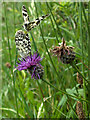 SU3942 : Marbled whites on knapweed by Andrew Smith
