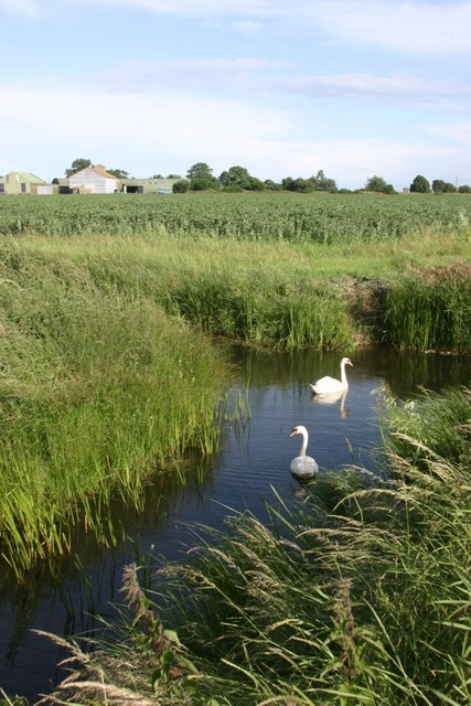 Drainage Ditch with Swans