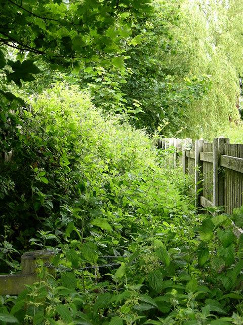 Footpath overgrown with nettles!