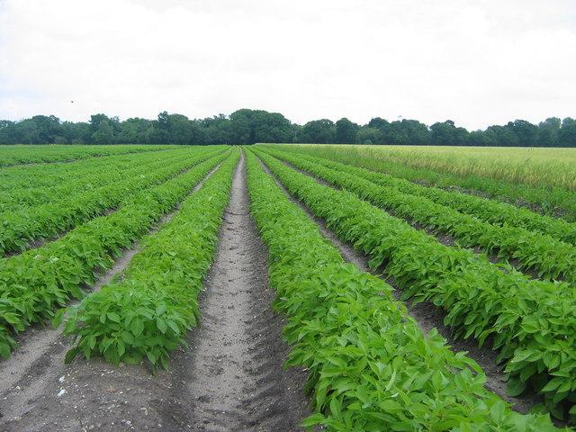 Potato Crop, Benacre